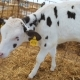 Young Calf On The Farm - VideoHive Item for Sale