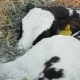 Calf Sleeps On Straw - VideoHive Item for Sale