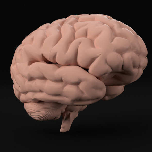 Anatomy - Human Brain (PBR, UV-unwrapped) - 3DOcean Item for Sale