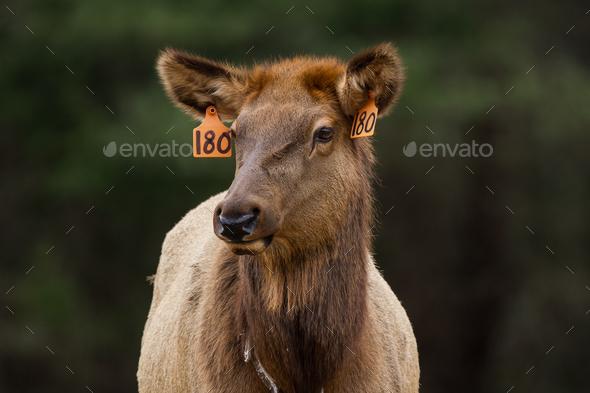 Elk Cow - Stock Photo - Images