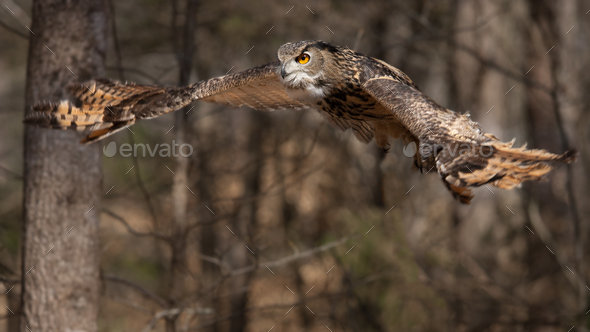 Eurasian Eagle Owl - Stock Photo - Images
