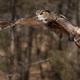 Eurasian Eagle Owl - PhotoDune Item for Sale