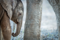 A young Elephant calf in between the legs of an adult Elephant. - PhotoDune Item for Sale