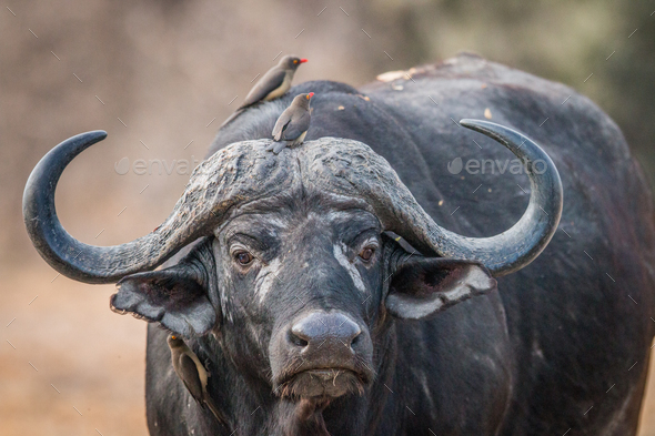 A starring Buffalo with Oxpeckers on him. - Stock Photo - Images