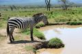Zebra near the water in Africa