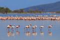 Flock of flamingos wading