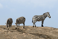 Zebra on stone in Africa