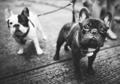 French Bulldog Animal Canine Dog Pedigree Concept - PhotoDune Item for Sale