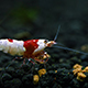 Red Bee Shrimp - VideoHive Item for Sale