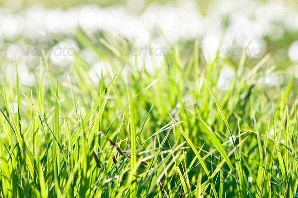 fresh green grass - Stock Photo - Images