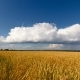 Golden Wheat Field with Clouds - VideoHive Item for Sale