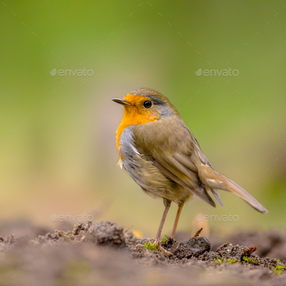 Curious Red Robin looking over shoulder - Stock Photo - Images