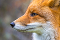Sideview portrait of European red fox