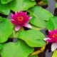 Nymphaea Aquatic Plant - VideoHive Item for Sale