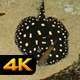 Black Diamond Ray in Tropical Bay - VideoHive Item for Sale