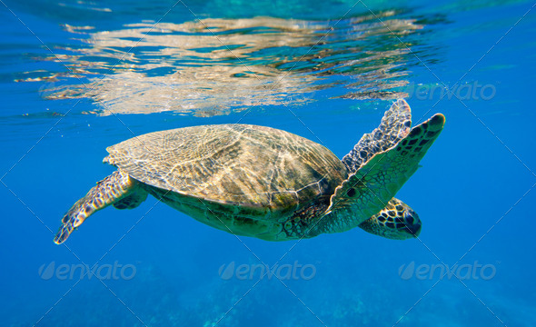 green sea turtle swimming in ocean sea - Stock Photo - Images