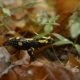 Salamander In The Wild - VideoHive Item for Sale