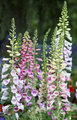 Foxglove, Digitalis purpurea pink, white flowers and buds