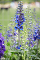 Blue larkspur flowers and buds, Delphinium elatum