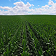 Corn Field - VideoHive Item for Sale