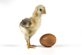 Chicken And Egg - PhotoDune Item for Sale