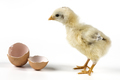 Little Chicken And Egg - PhotoDune Item for Sale