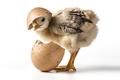 Egg On Chicken - PhotoDune Item for Sale