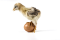 Beautiful Yellow Chicken - PhotoDune Item for Sale