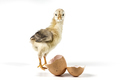 Beautiful Little Chicken - PhotoDune Item for Sale