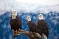 American Bald Eagles - PhotoDune Item for Sale