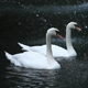 two white swans - VideoHive Item for Sale
