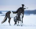 American miniature horse - PhotoDune Item for Sale