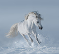 White Horse - PhotoDune Item for Sale