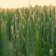 Wheat Field Caressed By Wind. - VideoHive Item for Sale