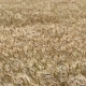 Wheat Field. - VideoHive Item for Sale