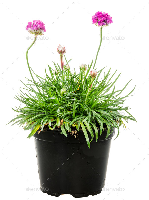 Isolated potted pink Armeria flower - Stock Photo - Images