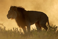 African lion at sunrise - PhotoDune Item for Sale