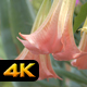 Angel Trumpet Flowers - VideoHive Item for Sale