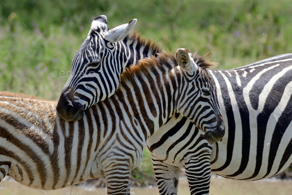Zebra on grassland in Africa - Stock Photo - Images