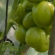 Green Tomatoes On Branch - VideoHive Item for Sale