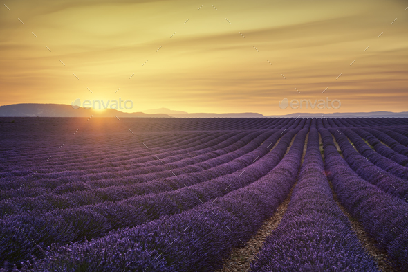 Lavender flower blooming fields endless rows on sunset. Valensol - Stock Photo - Images