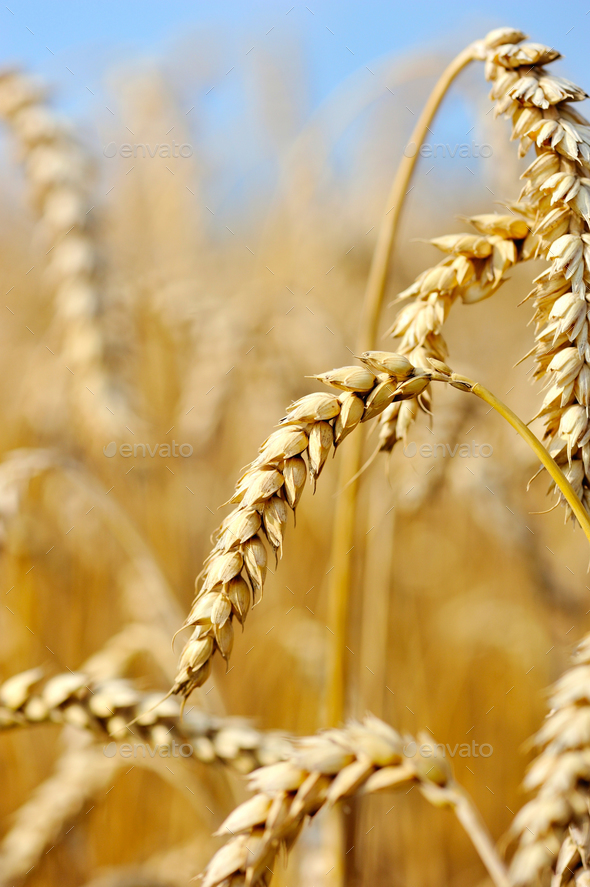 Ripe ears wheat. Close-up - Stock Photo - Images