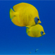 Beautiful Underwater Tropical Fish Butterflyfish - VideoHive Item for Sale