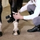 The Guy Puts Protection Boots On The Horse - VideoHive Item for Sale