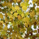 Autumn Maple Leaves in the Forest - VideoHive Item for Sale