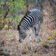 Zebra Eating - PhotoDune Item for Sale