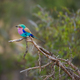 Lilac-Breasted Roller - PhotoDune Item for Sale