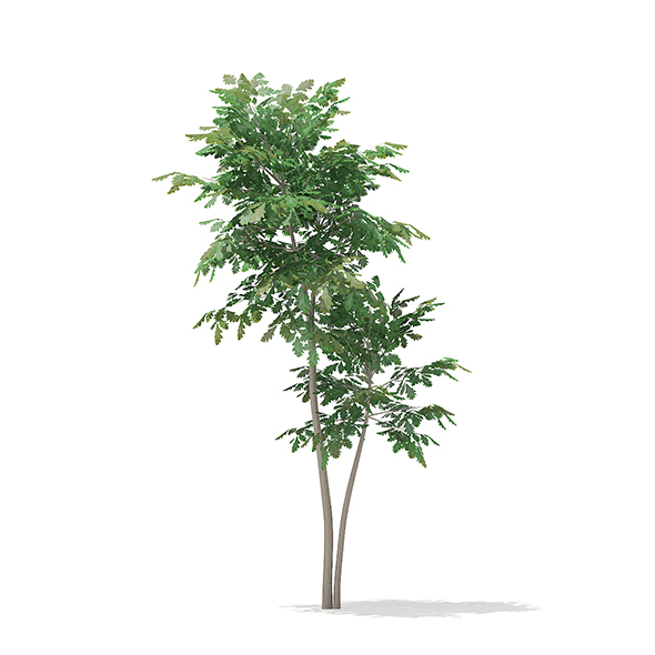 Pedunculate Oak (Quercus Robur) 2.4m - 3DOcean Item for Sale