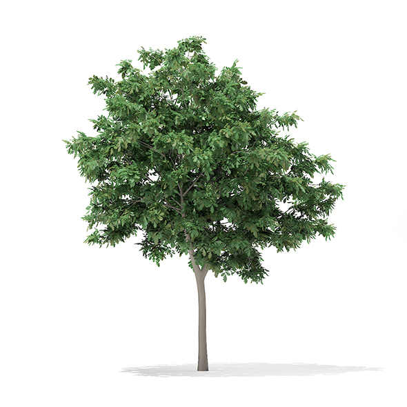 Pedunculate Oak (Quercus Robur) 5.7m - 3DOcean Item for Sale