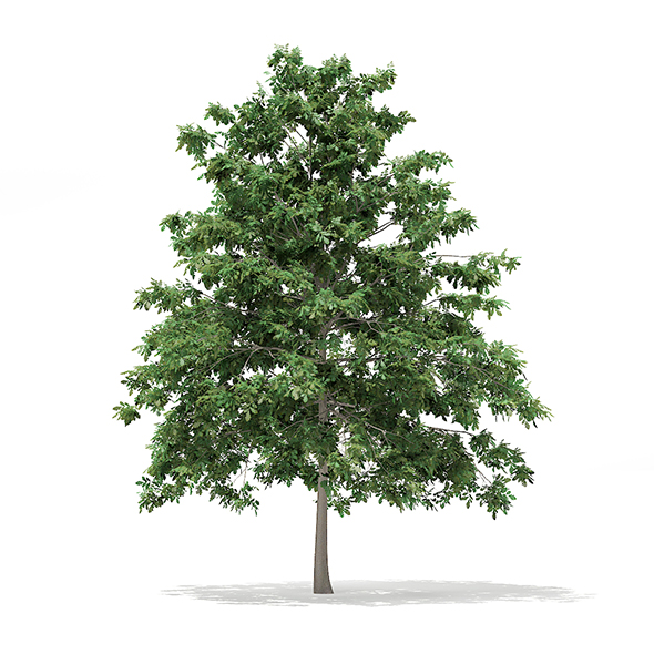 Pedunculate Oak (Quercus Robur) 6.9m - 3DOcean Item for Sale